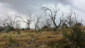 Dieback with revegetation in foreground