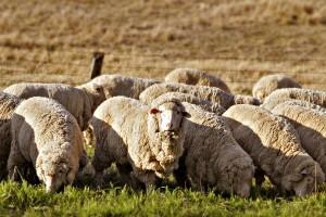 Prograze Sheep