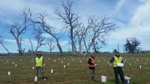 onservation Volunteers Australia putting on tree guards critical for seedling survival.